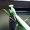 Chinese giant mantis