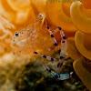 Jelly Cleaner Shrimp