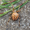 Cross Orbweaver Spider Araneus diadematus