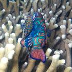 Mandarinfish or Mandarin dragonet