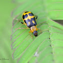 Bean Beetle (Chrysomelidae)