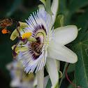 Passiebloem (Passiflora)