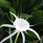 Spider Lilly