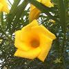 Thevetia peruviana (Adelfa amarilla, Amancay)
