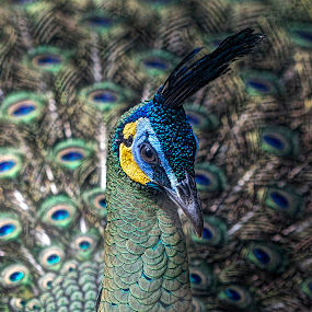 Peacock in Saigon Zoo by Andre Minoretti - Animals Birds ( bird, zoo, spring period, colrs, peacock, animal )