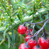 Bittersweet Nightshade Berries