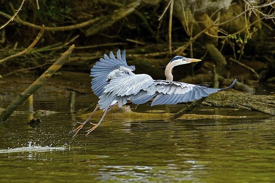 Draggin' The Feet by Roy Walter - Animals Birds ( great blue heron, bird, flight, wild, wings, feathers, river )