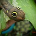 SWlver striped Hawk Moth Caterpillar