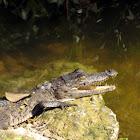 American Crocodile (juvenile)