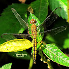 Neurothemis Dragonfly ♀