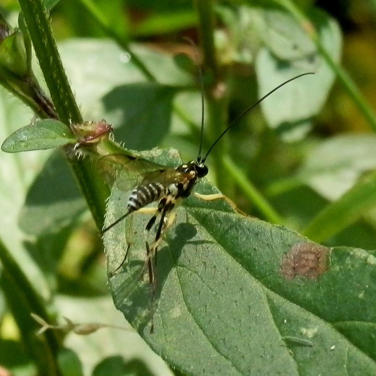 Case Moth Larvae Parasite Wasp - female