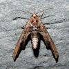 Dark Marathyssa Moth