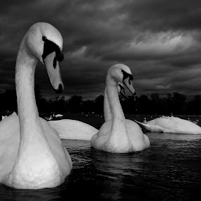 Swan Song by Steve Cooke - Black & White Animals (  )