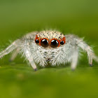 JumpingSpider22