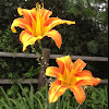 Orange Lily, Fire Lily, Tiger Lily