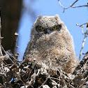 Great Horned Owl (nestling)
