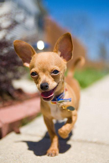 chihuahua wallpapers hd android apps on google play
