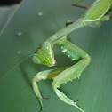 Giant African mantis