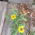 Sea oxeye daisy/sea marigold
