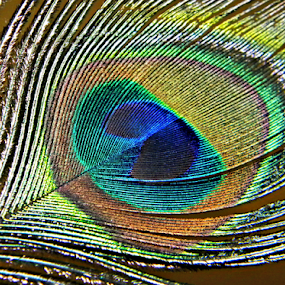 Vibrant colors of peacock feather by Saptak Banerjee - Nature Up Close Other Natural Objects ( bright, blue, green, colors, vibrant, feather, peacock,  )