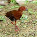 Red-legged Crake