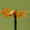 Ditch Jewel or Common Amberwing