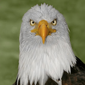 If Looks Could Kill by Pam Mullins - Animals Birds ( bird, face, nature, bald eagle, wildlife, raptor, closeup, portrait )