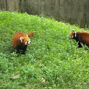 """The Red Panda or """"firefox"""""""