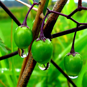 Green drops 3 by Gordana Cajner - Nature Up Close Natural Waterdrops (  )