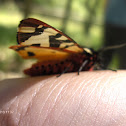 Cream Spot Tiger Moth / Polilla Tigre
