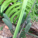 Fruit salad plant