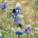 Annual Lupine with bumble bee