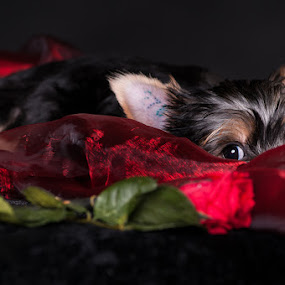 Secret romance by Martin Zenisek - Animals - Dogs Puppies ( rose, jorkshire terrier, color, puppy, romance,  )