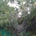 Golden Orb spider web (spider there somewhere)