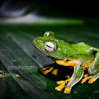 Black-webbed Treefrog
