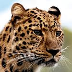 Leopard Wallpapers