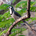 Black Throated Magpie Jay - Urraca Hermosa Carinegra