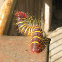 Yellow-edge Firetip's Caterpillar
