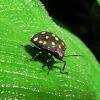 Shield back bug
