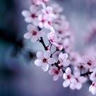 Cherry Blossoms Wallpaper icon