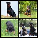 Rottweiler Live Wallpaper logo