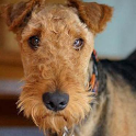 Dog Puzzle: Airedale Terrier icon
