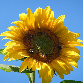 Big Sunflower by Patrick Jones - Flowers Single Flower ( sunflower, bumblebees, large )