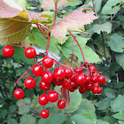 High-bush-Cranberry (berries)