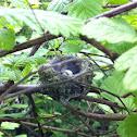Anna's Hummingbird Nest w/ Eggs