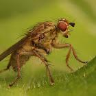 Scathophaga species