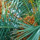 Kanarische Dattelpalme, Phoenix canariensis
