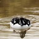 Goldeneye duck (Anatra quattrocchi)