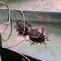 Largis bug