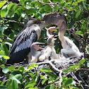 Anhinga - Mother Feeding Chicks
